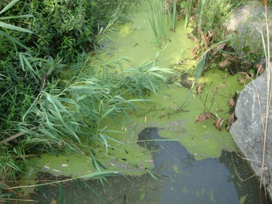 Researchers took samples of duckweed from 68 waterbodies worldwide. © Klaus J. A