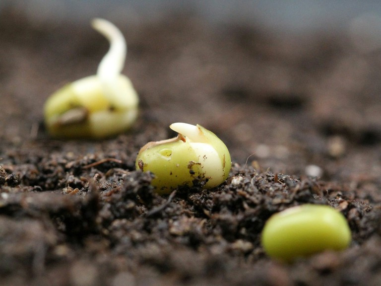 Bild1-Mung-bean-seeds_by-Bettina-Richter-3x4.jpg   Keimende Mungbohnen-Samen Fot