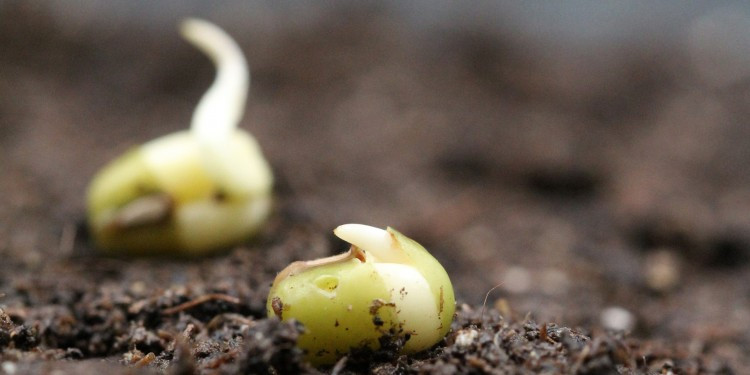 Germinating mung bean seeds  © Bettina Richter