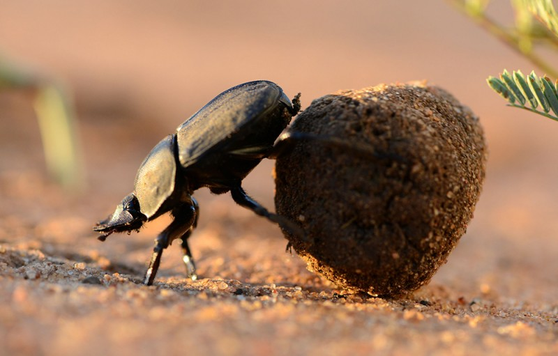 A ball-rolling dung beetle (Scarabaeus lamarcki) is navigating through the South