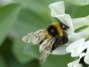 A bumble bee (Bombus hortorum) collects nectar from a faba bean flower. Photo: N