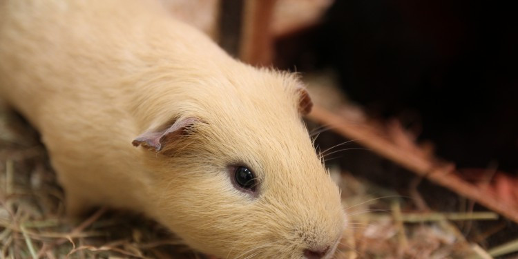 Male guinea pigs are still able to adapt their hormone systems to changes in the