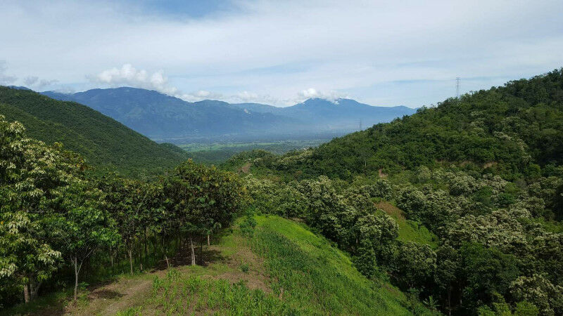 Landscapes in Central Sulawesi, Indonesia, dominated by cocoa plantations Photo: