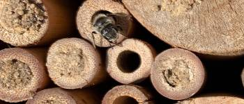 A solitary bee leaves an artificial nest. The individual breeding chambers are s