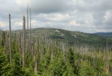 Spruces killed by bark beetles on the Lusen in the Bavarian Forest National Park