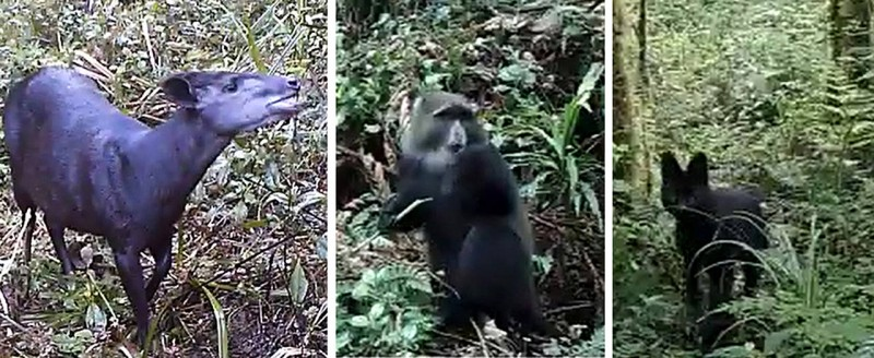 Three examples of the animal species filmed at Kilimanjaro (from left): an Abbot