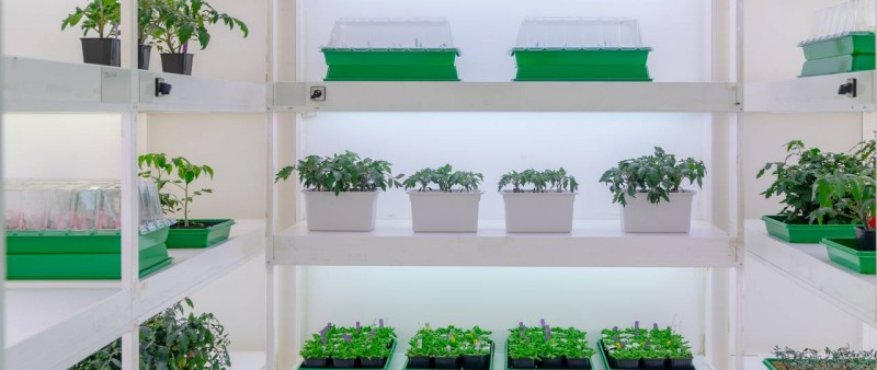 Tomato plants growing in a climate chamber at the Chair of Systems Biology. Clau